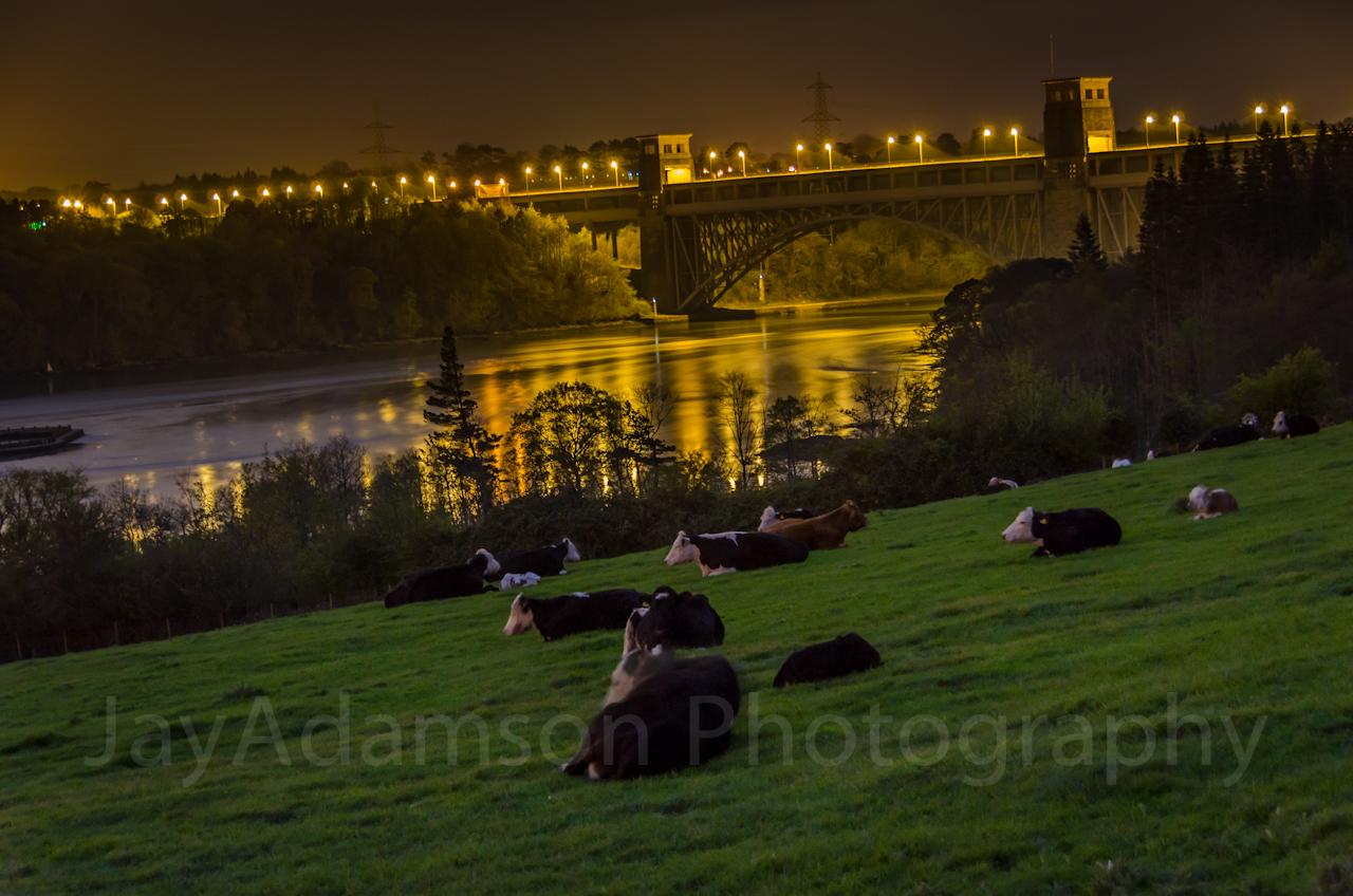Sleeping herd at Britannia bridge