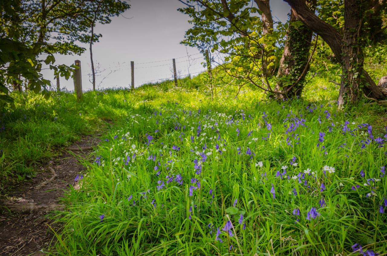Bluebells on Bryn Euryn