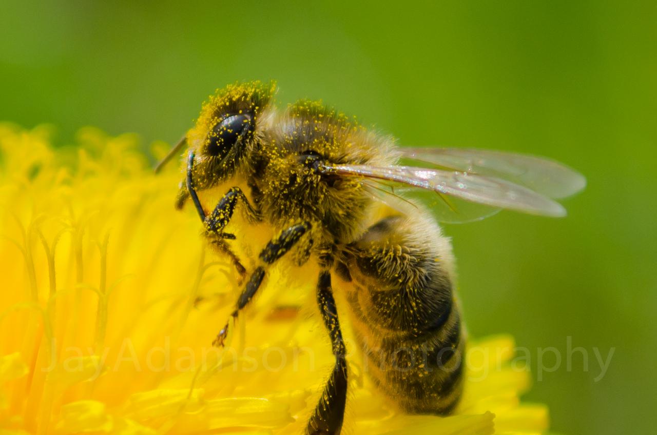 Bee covered in pollen alt
